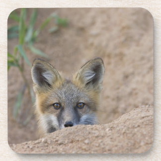 USA, Colorado, Pike National Forest. Shy red fox Coaster