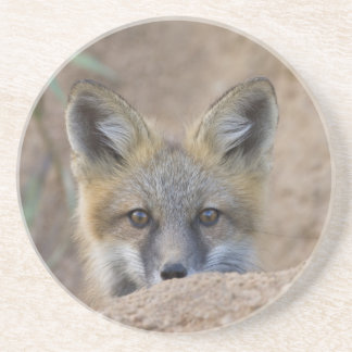 USA, Colorado, Pike National Forest. Shy red fox Drink Coaster