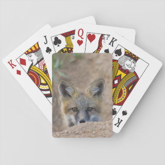 USA, Colorado, Pike National Forest. Shy red fox Playing Cards