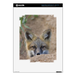 USA, Colorado, Pike National Forest. Shy red fox Decals For iPad 3
