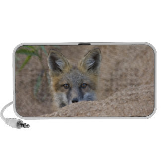 USA, Colorado, Pike National Forest. Shy red fox Travel Speaker