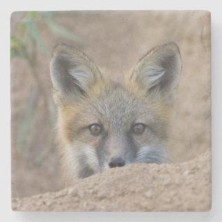 USA, Colorado, Pike National Forest. Shy red fox Stone Coaster