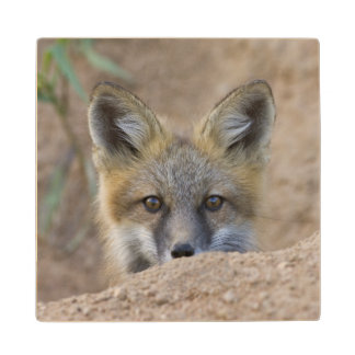 USA, Colorado, Pike National Forest. Shy red fox Wooden Coaster