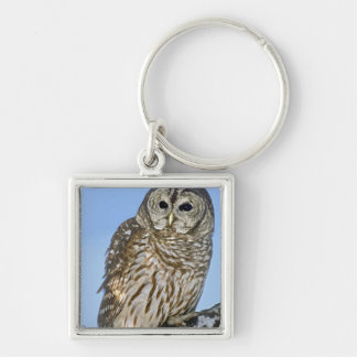 USA, Colorado. Portrait of barred owl perched on Keychain