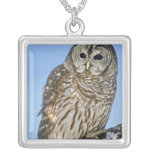USA, Colorado. Portrait of barred owl perched on Silver Plated Necklace