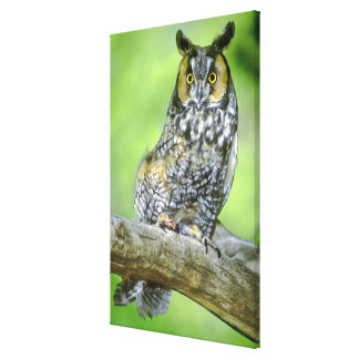 USA, Colorado. Portrait of long-eared owl Canvas Print