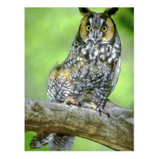 USA, Colorado. Portrait of long-eared owl Postcard