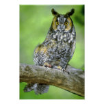 USA, Colorado. Portrait of long-eared owl Posters