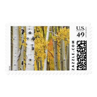 USA, Colorado, Rocky Mountains.  Intimate aspen Postage