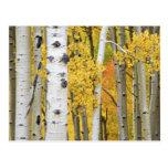 USA, Colorado, Rocky Mountains.  Intimate aspen Post Cards