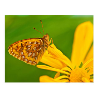 USA, Colorado. Skipper butterfly on sunflower Postcard