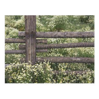 USA, Colorado, Wild Chamomile around log fence Postcard