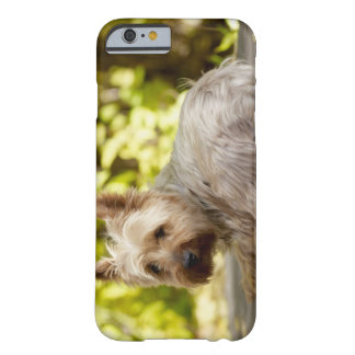 USA, Colorado, Yorkshire terrier lying down and Barely There iPhone 6 Case
