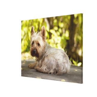 USA, Colorado, Yorkshire terrier lying down and Canvas Print