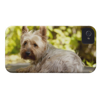 USA, Colorado, Yorkshire terrier lying down and iPhone 4 Case