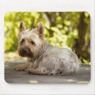 USA, Colorado, Yorkshire terrier lying down and Mouse Pad