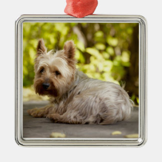 USA, Colorado, Yorkshire terrier lying down and Christmas Tree Ornament