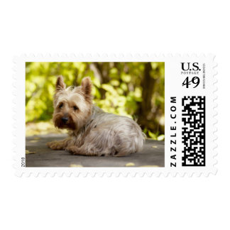 USA, Colorado, Yorkshire terrier lying down and Postage