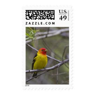 USA, Ellensburg, Washington. Male Western Stamps