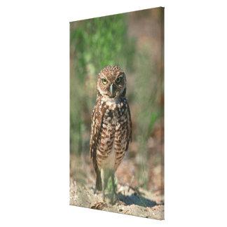 USA, Florida, Burrowing Owl. 2 Canvas Print