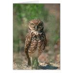 USA, Florida, Burrowing Owl. 2 Greeting Card
