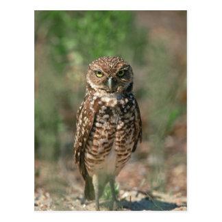 USA, Florida, Burrowing Owl. 2 Postcard