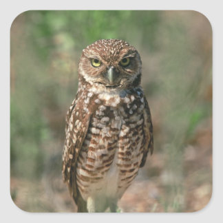 USA, Florida, Burrowing Owl. 2 Stickers