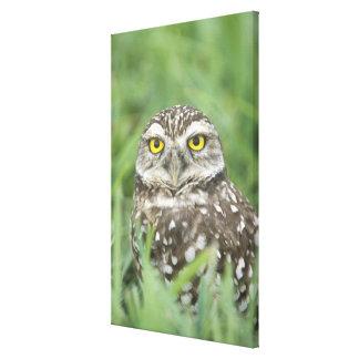 USA, Florida, Cape Coral, Burrowing Owl (Athene Canvas Print