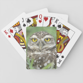 USA, Florida, Cape Coral, Burrowing Owl (Athene Playing Cards