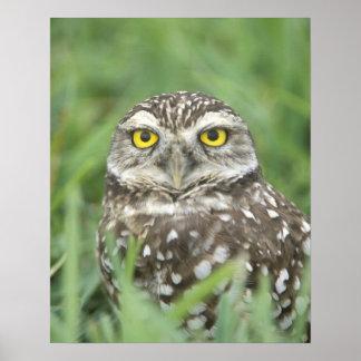USA, Florida, Cape Coral, Burrowing Owl (Athene Poster