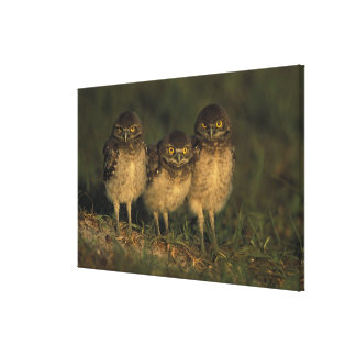 USA, Florida, Cape Coral. Three Burrowing Owls Stretched Canvas Print