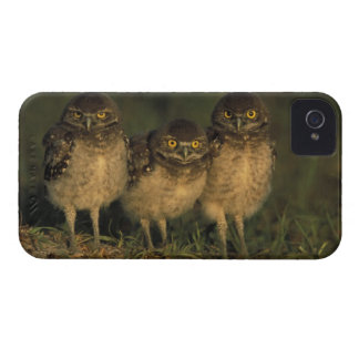 USA, Florida, Cape Coral. Three Burrowing Owls Case-Mate iPhone 4 Cases