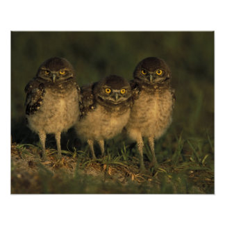 USA, Florida, Cape Coral. Three Burrowing Owls Poster