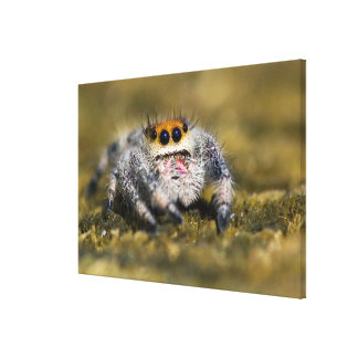 USA, Florida. Close-up of jumping spider. Credit Canvas Print