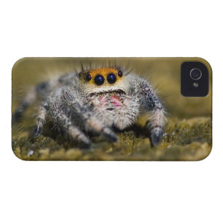 USA, Florida. Close-up of jumping spider. Credit iPhone 4 Case-Mate Cases
