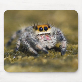 USA, Florida. Close-up of jumping spider. Credit Mouse Pad
