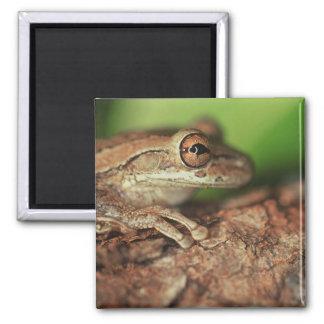 USA, Florida, Cuban Tree Frog. 2 Inch Square Magnet