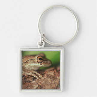 USA, Florida, Cuban Tree Frog. Keychain