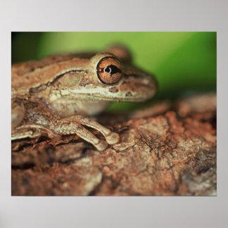 USA, Florida, Cuban Tree Frog. Poster