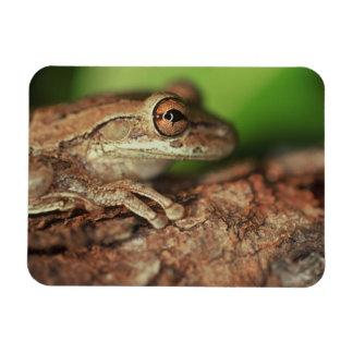USA, Florida, Cuban Tree Frog. Rectangular Photo Magnet
