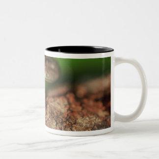USA, Florida, Cuban Tree Frog. Two-Tone Coffee Mug