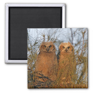 USA, Florida, De Soto. Great horned owlets sit 2 Inch Square Magnet