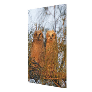 USA, Florida, De Soto. Great horned owlets sit Canvas Print