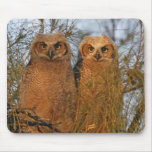 USA, Florida, De Soto. Great horned owlets sit Mouse Pad