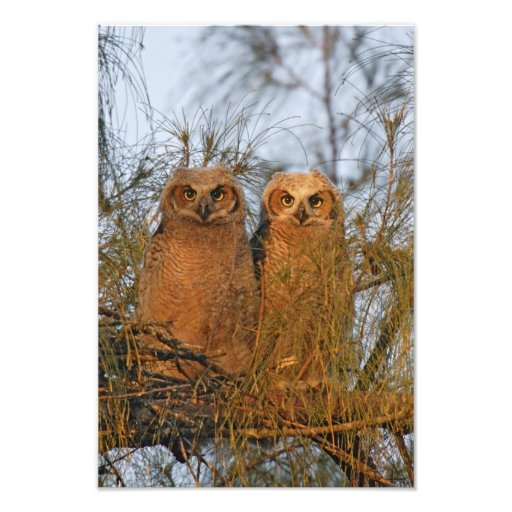USA, Florida, De Soto. Great horned owlets sit Photo Print