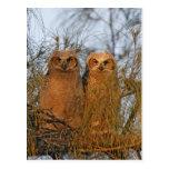 USA, Florida, De Soto. Great horned owlets sit Postcard