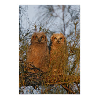 USA, Florida, De Soto. Great horned owlets sit Poster