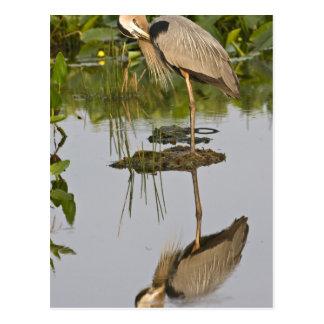 USA, Florida, Delray Beach. Great blue heron Postcard