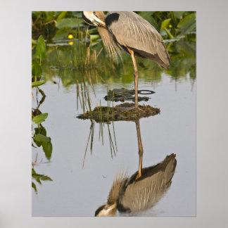 USA, Florida, Delray Beach. Great blue heron Poster