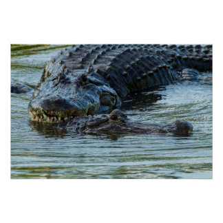 USA, Florida, Gatorland. Male Alligator Displays Poster